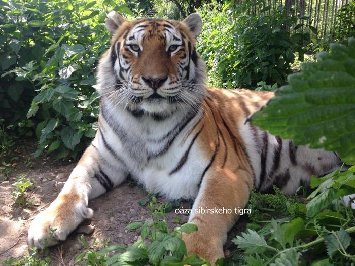 Zdroj: tigre19.webnode.sk