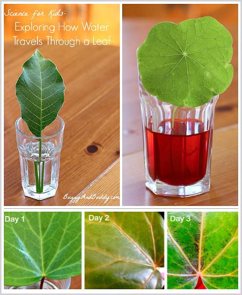 Experiment, ako pijú listy vodu